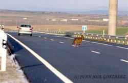 lobo autopista