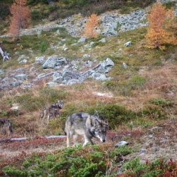 "Lobos en libertad ""Photo : Groupe Loup Suisse GLS"""